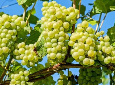 Good news, Indian scientists, Developed, New grape variety,
